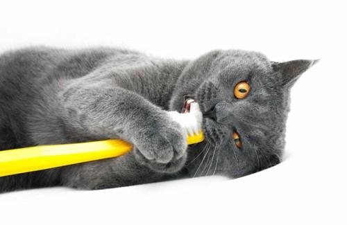 猫が歯ブラシをくわえている