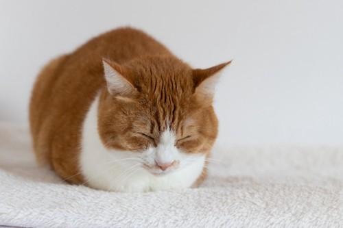 香箱座りで眠る猫