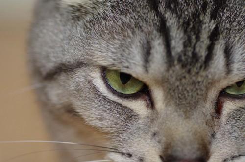 睨む猫の顔アップ