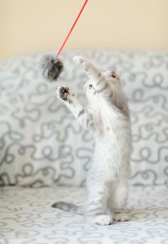 猫じゃらしで遊んでいる子猫