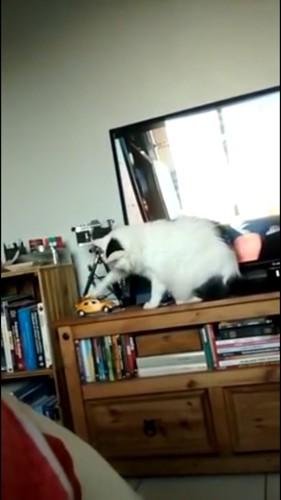 ミニカーを触る猫