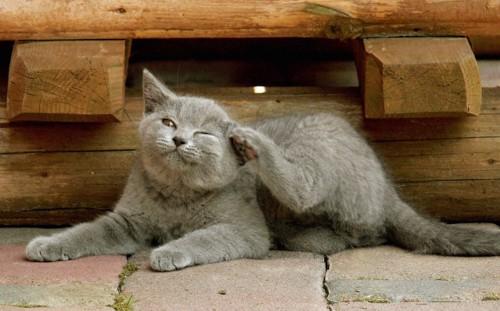 耳の後ろを掻いているグレーの猫