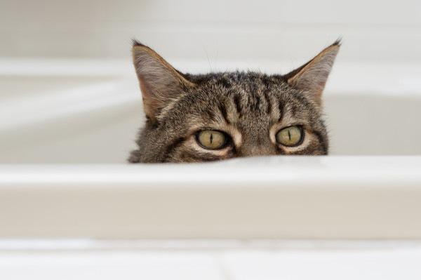 お風呂場から顔を出す猫