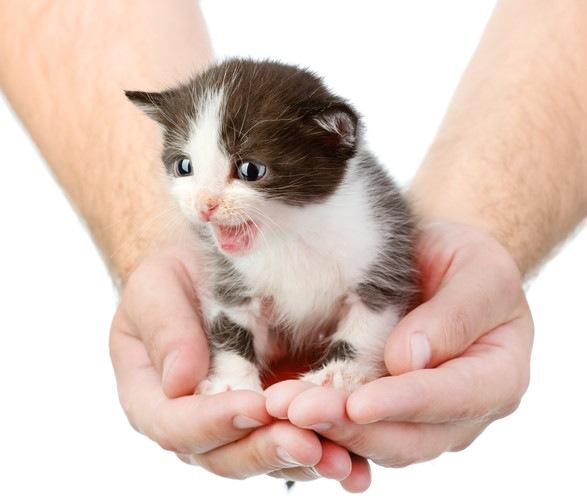 手の上でないている子猫