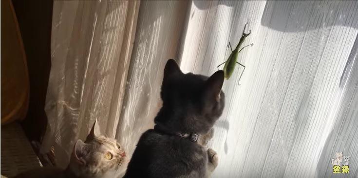 カーテンに登るカマキリを見つめる猫