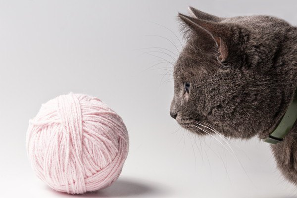 毛糸をじっと見つめる猫