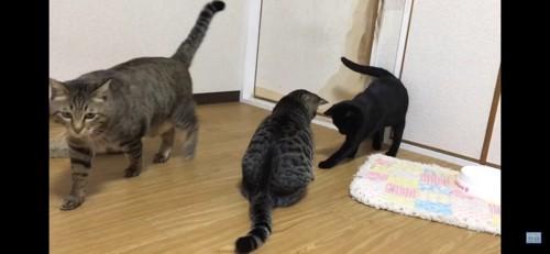 歩く猫と遊ぶ猫たち