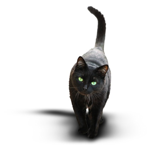 尻尾を立てて歩く黒猫