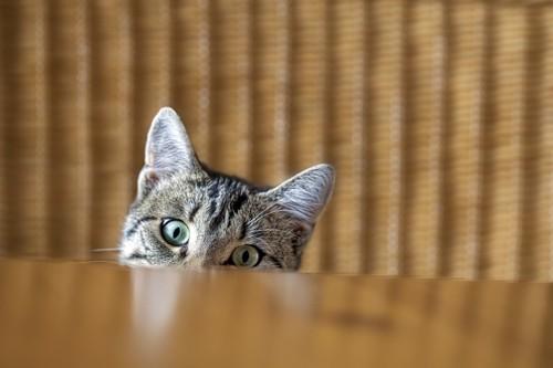テーブルからこちらをのぞく猫