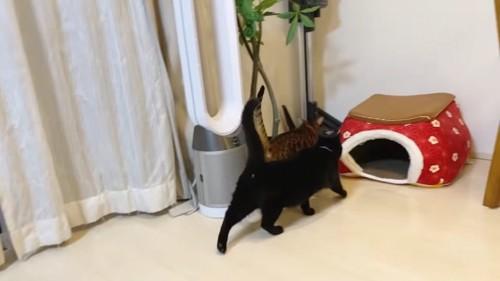 並んで歩く猫