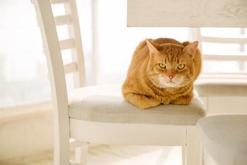 白い椅子の上にいる茶トラの猫