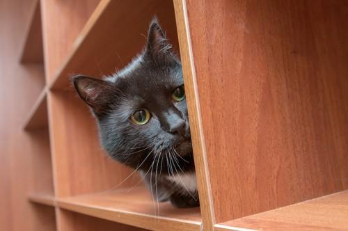 棚に入ってこちらを覗いている猫