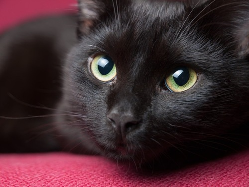 ピンク背景の黒猫