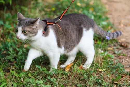 リードをつけた猫