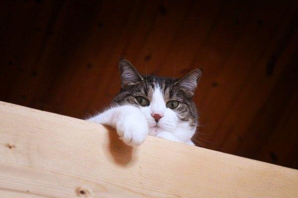 木の板に手をかける猫