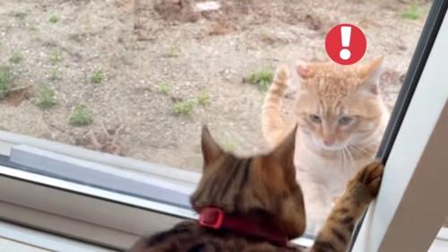 野良猫と向かい合うベンガル