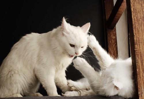 他の猫にからむ猫