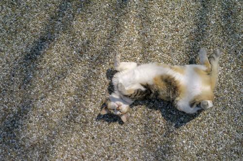 道の上でヘソ天で眠る猫