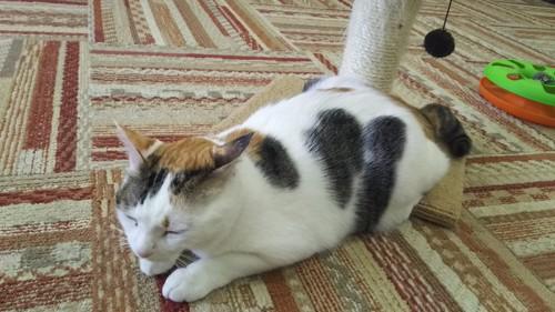 猫カフェにゃんくるのスタッフ猫