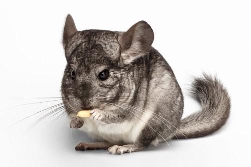 ネズミのチンチラ