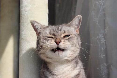 眉間にしわを寄せて口を半開きにする猫