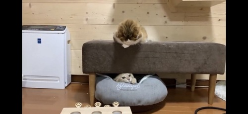 ソファの下から出てくる猫