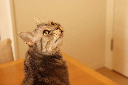 振り返って見上げる猫
