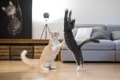 遊ぶ薄茶とグレーの猫