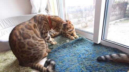 一か所を見つめる2匹の猫