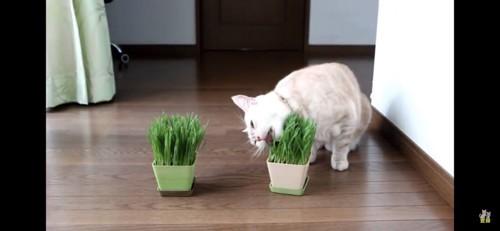 猫草だいすき