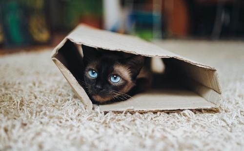 筒状になった段ボールに入っているシャム子猫