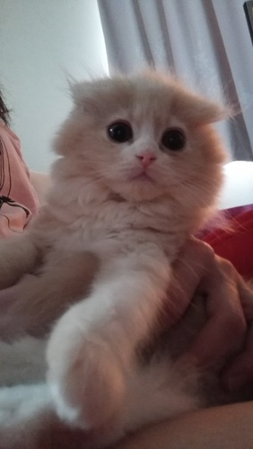 もふもふな子猫のスコティッシュ