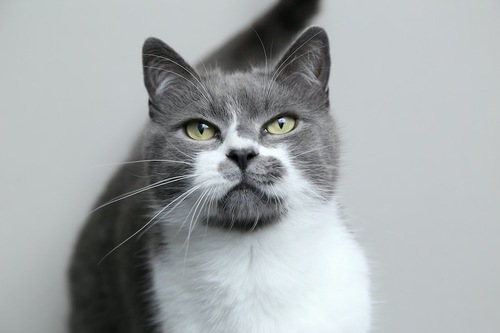 目をそらして遠くを見つめる猫