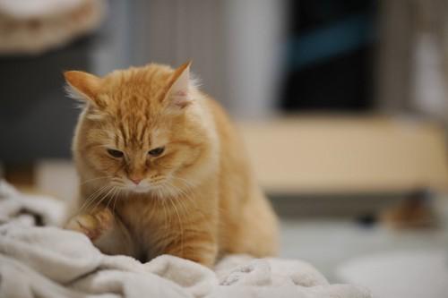 タオルにフミフミをする猫
