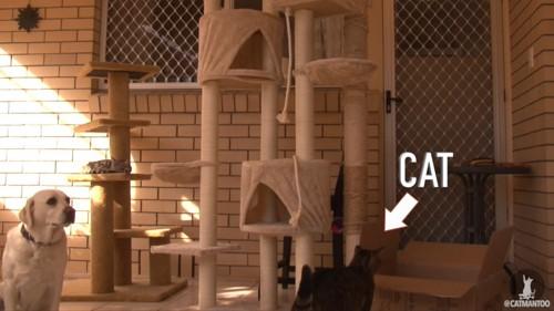 キャットタワーを見る猫