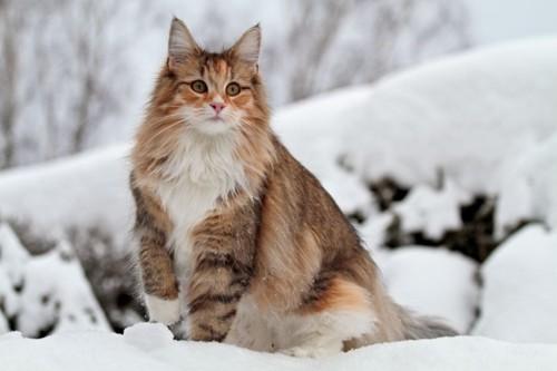 雪の上に立つ猫