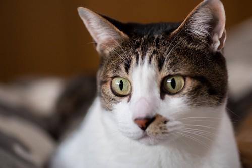 何かを見つめる猫