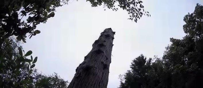 ツェッペリンの登った木