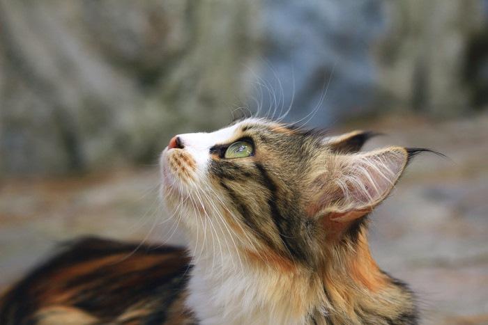 上の方を見つめる猫