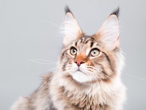 真剣に何かを見つめる猫