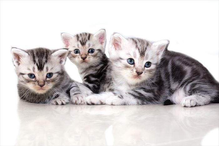 3匹のアメリカンショートヘア子猫