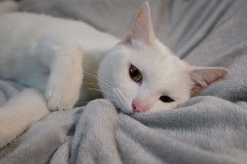 グレーの毛布に寝る白猫