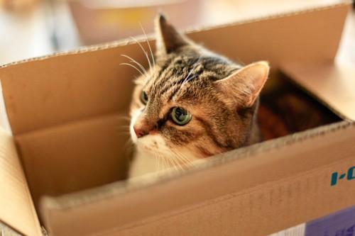 箱に入って遊ぶ若く見える老猫