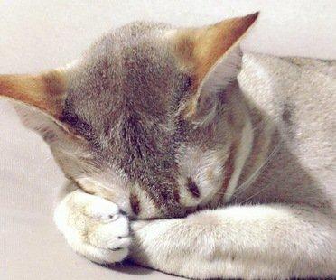 ごめん寝しているシンガプーラ