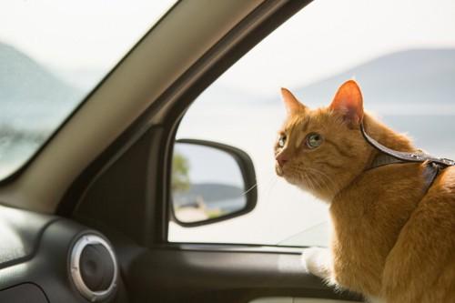 ハーネスを着けて車の中に座る猫