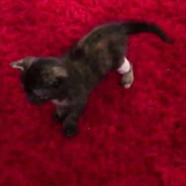 後脚に包帯を巻いた子猫
