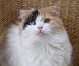 珍しいオッドアイの瞳のスコティッシュフォールドの女の子