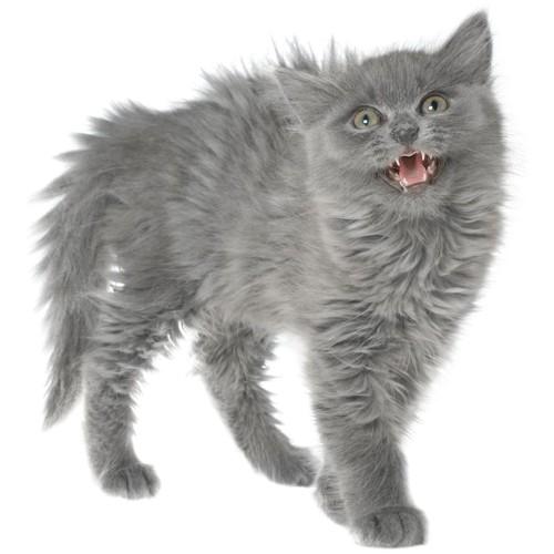 全身の毛を逆立てて鳴く猫