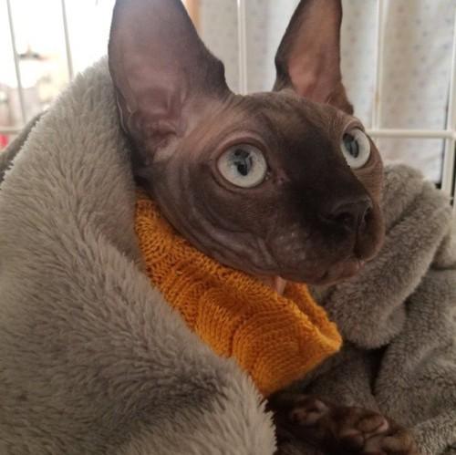オレンジの服を着て毛布にくるまるスフィンクス