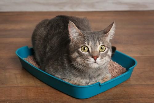 青い猫トイレに香箱する猫